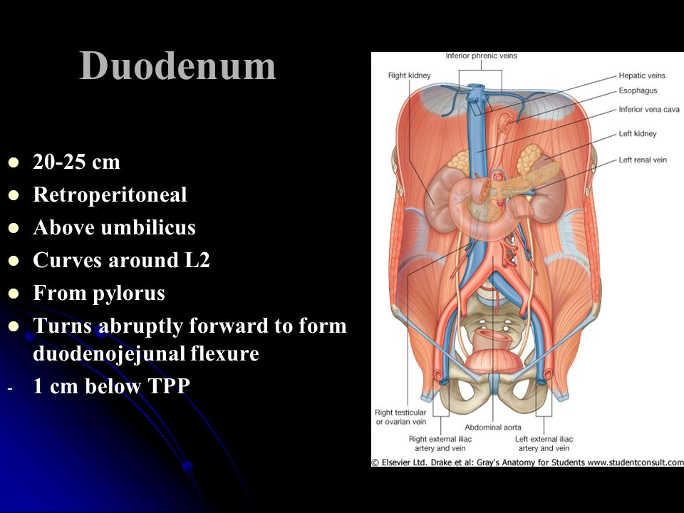 Duodenum 20-25 cm Retroperitoneal Above umbilicus Curves around L2