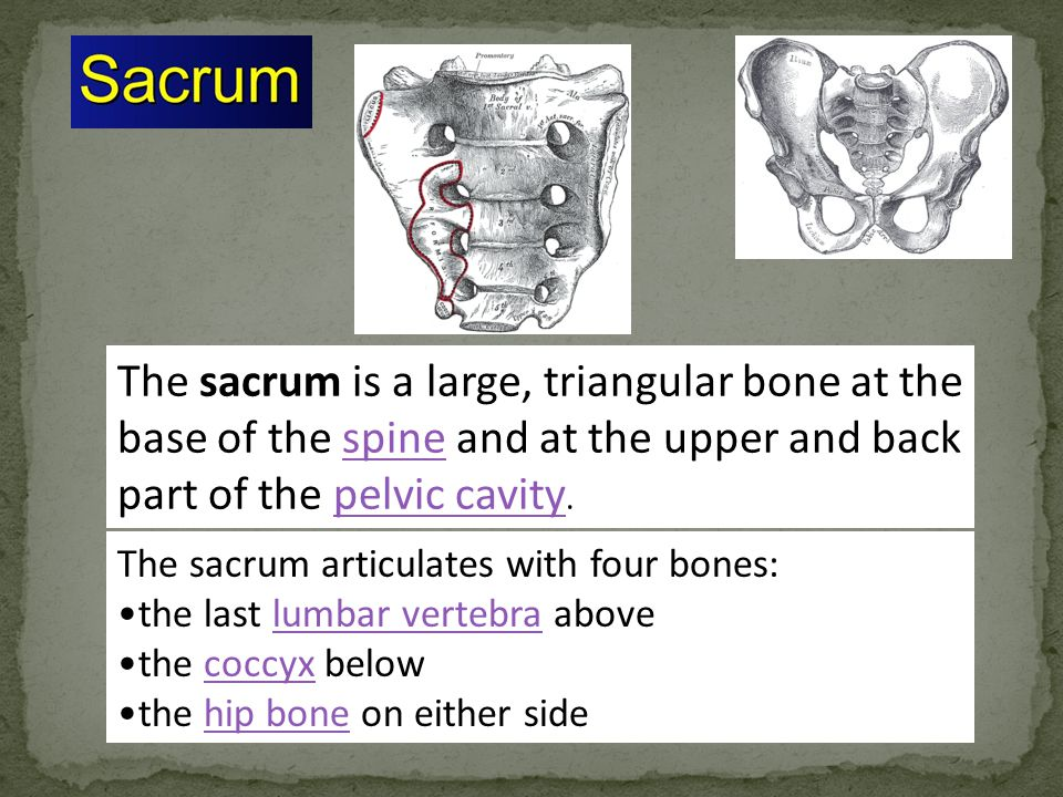 The sacrum is a large, triangular bone at the base of the spine and at the upper and back part of the pelvic cavity.