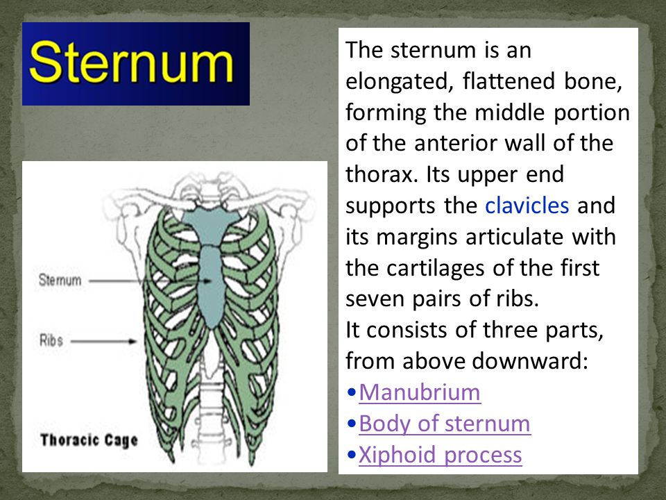 The sternum is an elongated, flattened bone, forming the middle portion of the anterior wall of the thorax. Its upper end supports the clavicles and its margins articulate with the cartilages of the first seven pairs of ribs.