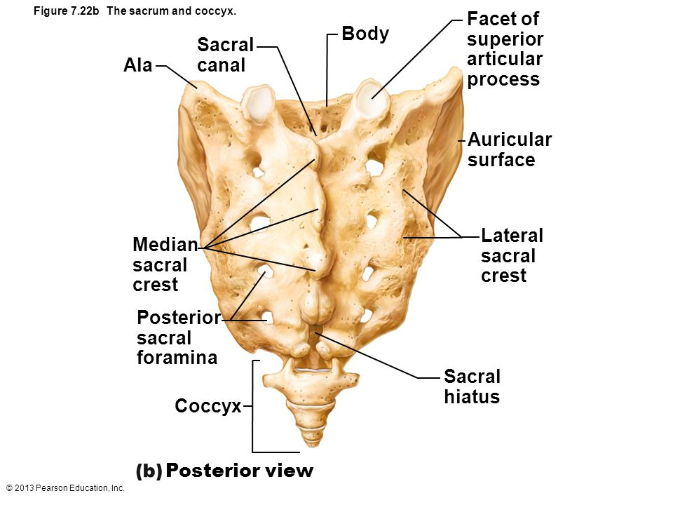 Figure 7.22b The sacrum and coccyx.