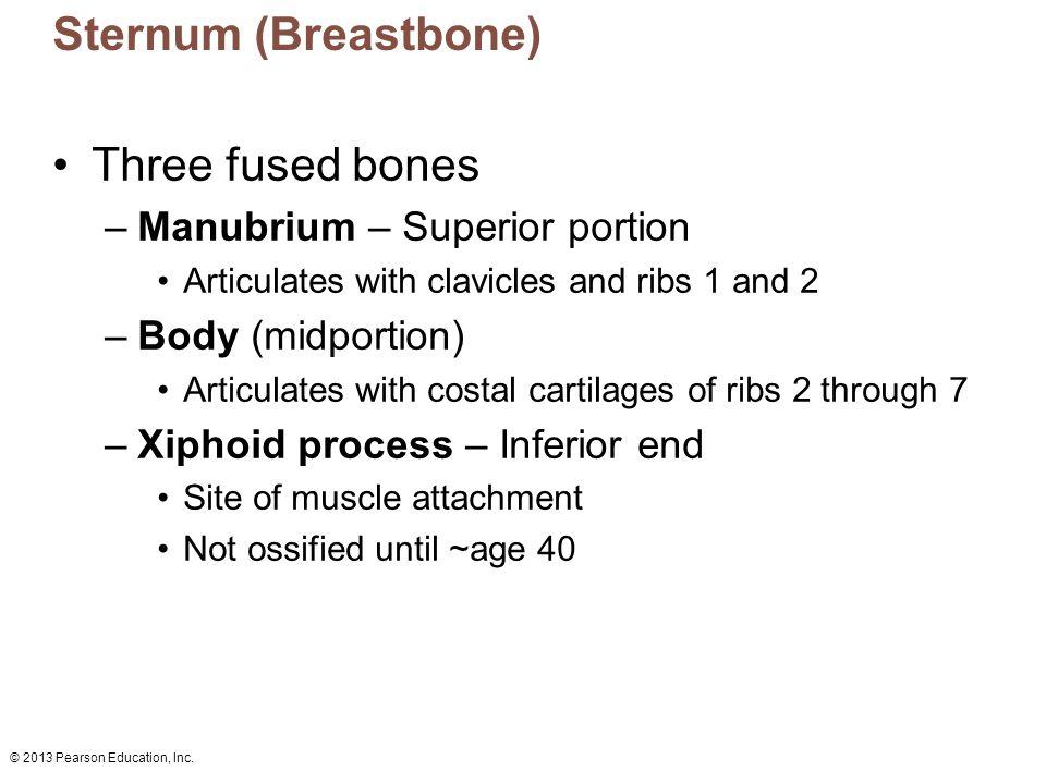 Sternum (Breastbone) Three fused bones Manubrium – Superior portion