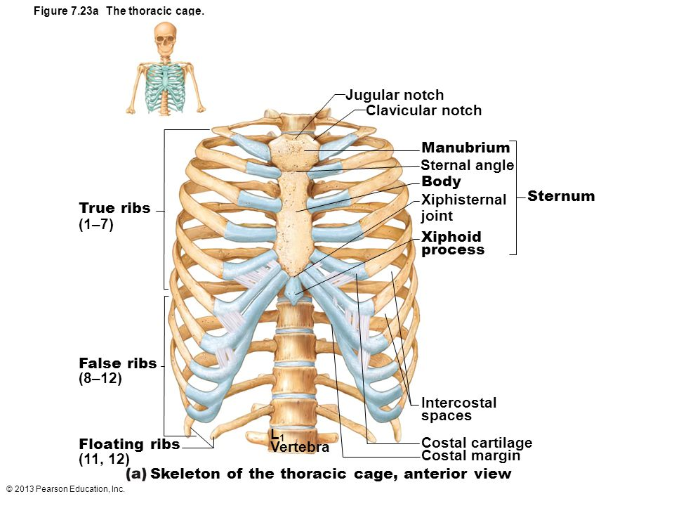 Figure 7.23a The thoracic cage.