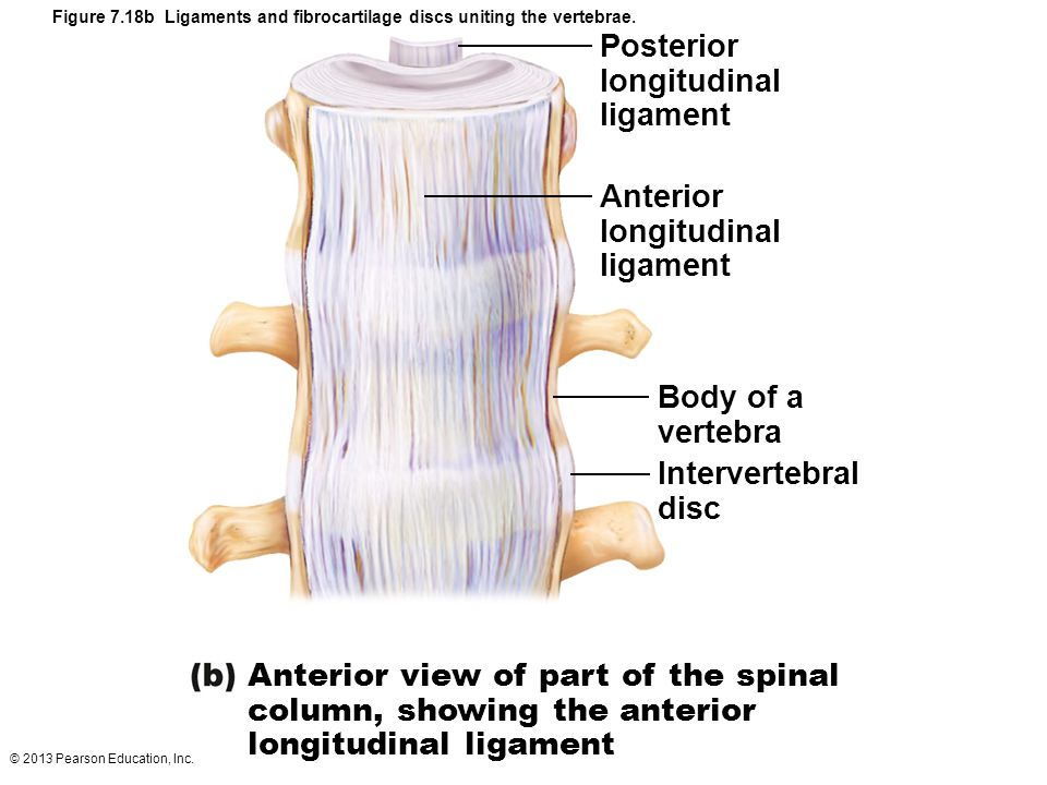 Figure 7.18b Ligaments and fibrocartilage discs uniting the vertebrae.