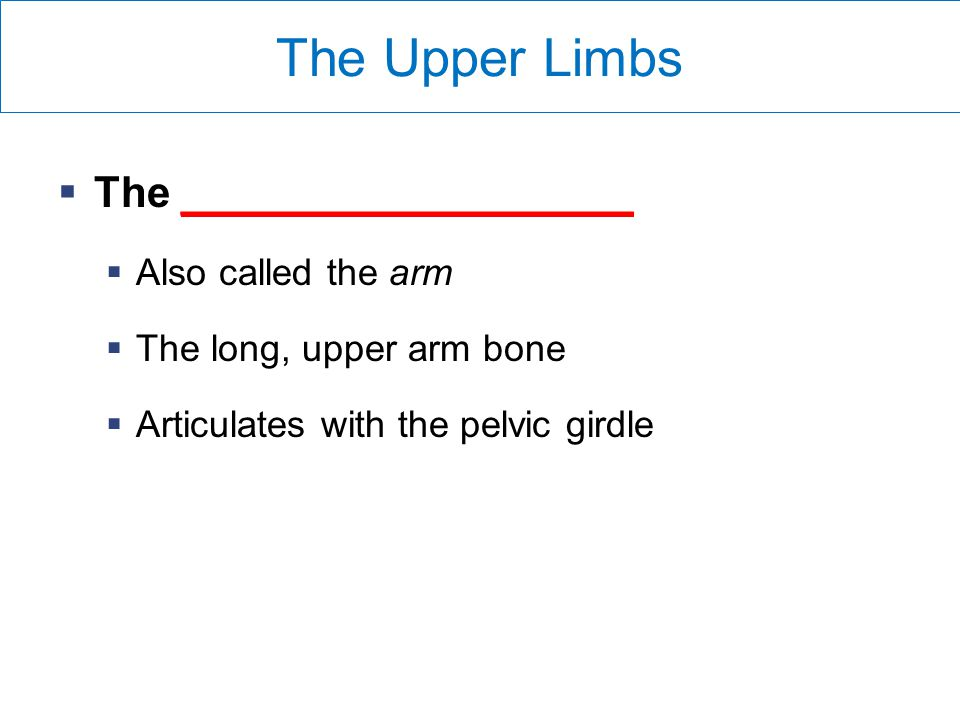 The Upper Limbs The ___________________ Also called the arm