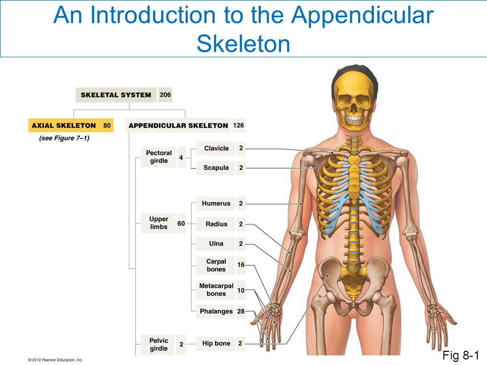 An Introduction to the Appendicular Skeleton