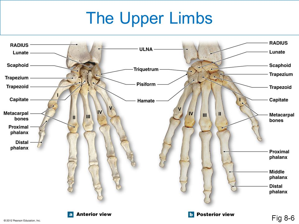 The Upper Limbs Fig 8-6 Each hand has 27 bones.