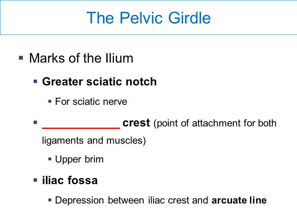 The Pelvic Girdle Marks of the Ilium Greater sciatic notch