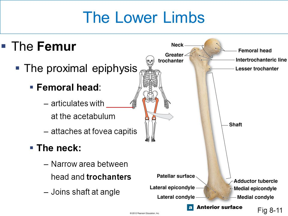 The Lower Limbs The Femur The proximal epiphysis Femoral head: