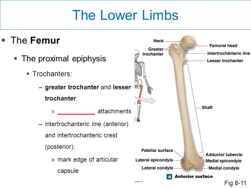 The Lower Limbs The Femur The proximal epiphysis Trochanters: