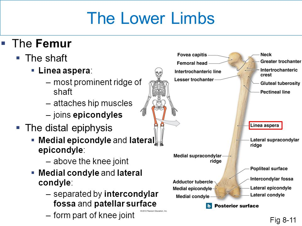 The Lower Limbs The Femur The shaft The distal epiphysis Linea aspera: