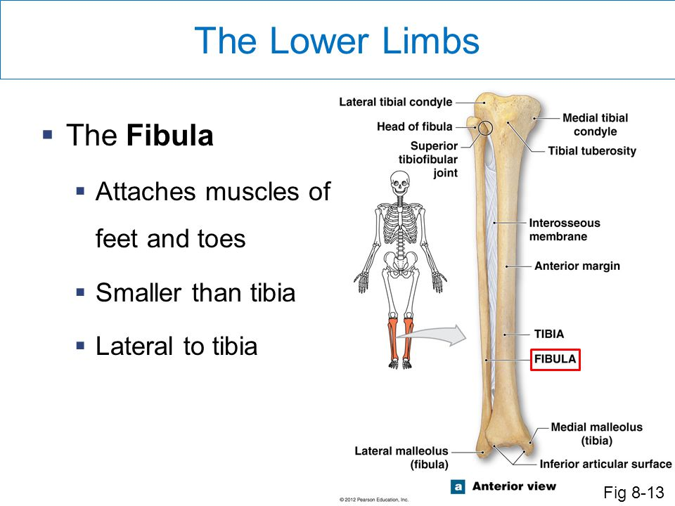 The Lower Limbs The Fibula Attaches muscles of feet and toes