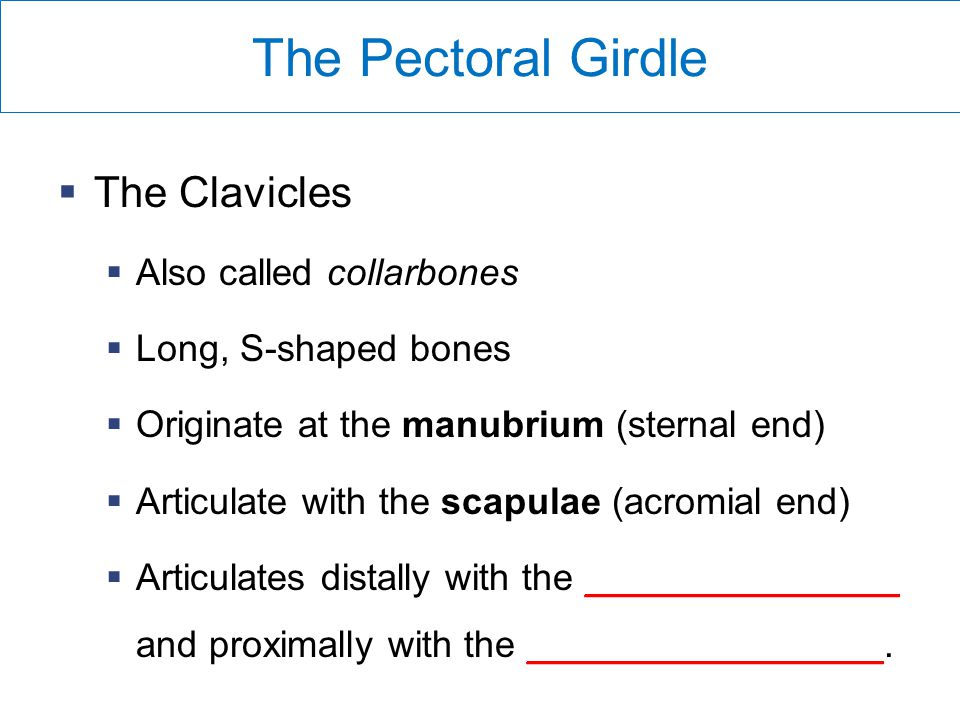 The Pectoral Girdle The Clavicles Also called collarbones