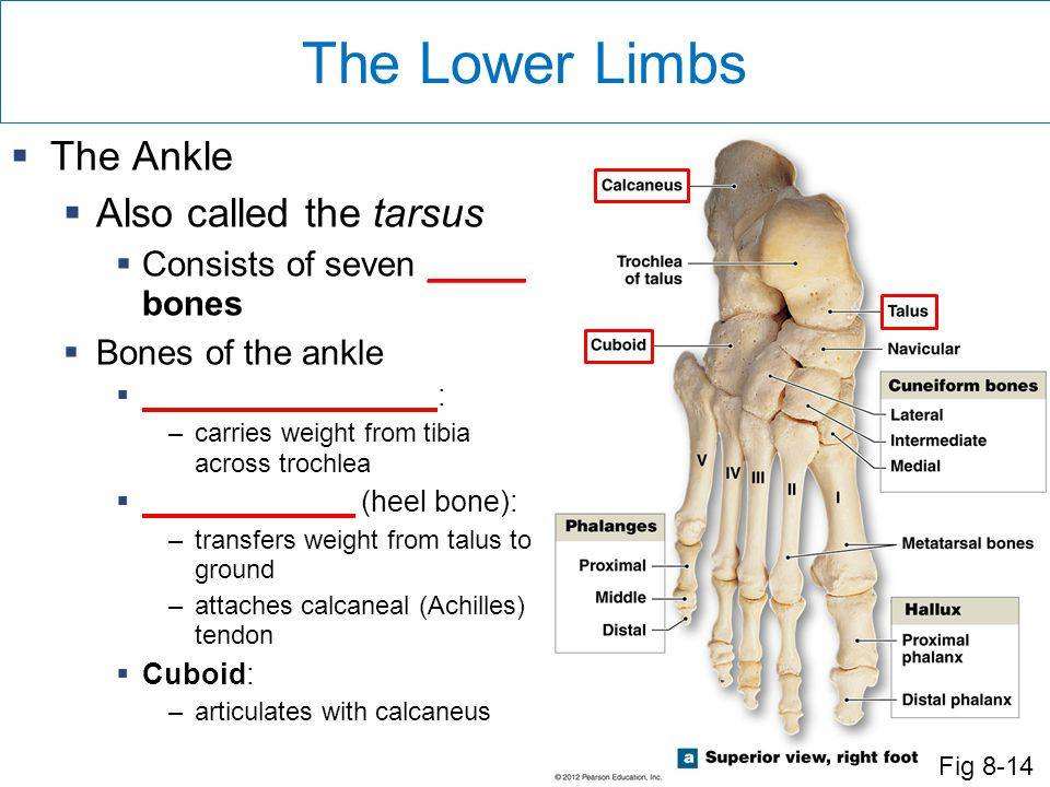 The Lower Limbs The Ankle Also called the tarsus