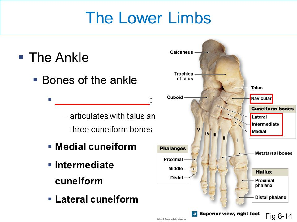 The Lower Limbs The Ankle Bones of the ankle _________________: