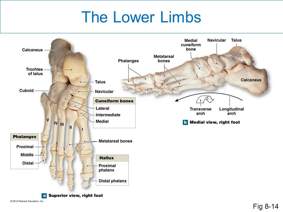 The Lower Limbs The structure of the foot is somewhat similar to the hand, but is modified because of the substantial weight supported by the foot.