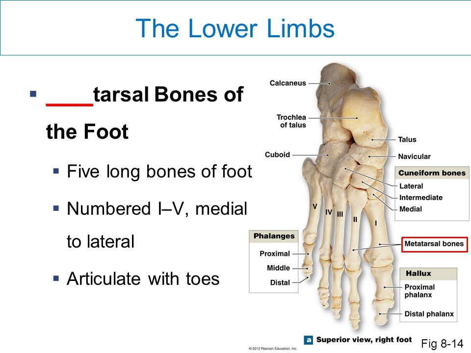 The Lower Limbs ____tarsal Bones of the Foot Five long bones of foot