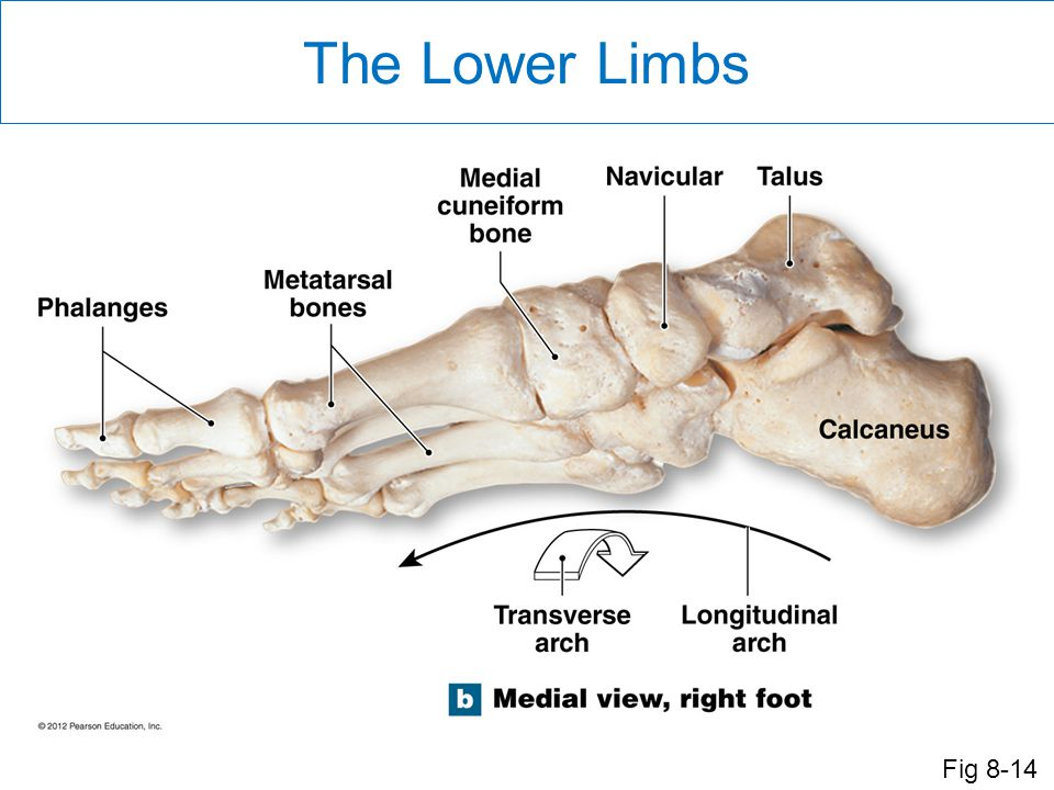 The Lower Limbs The weight of the body is supported by the _____. a. distal metacarpals. b. proximal metatarsals.