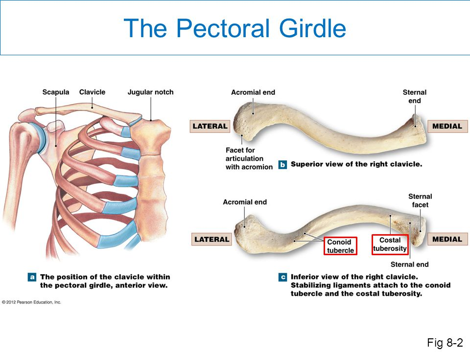 The Pectoral Girdle Fig 8-2