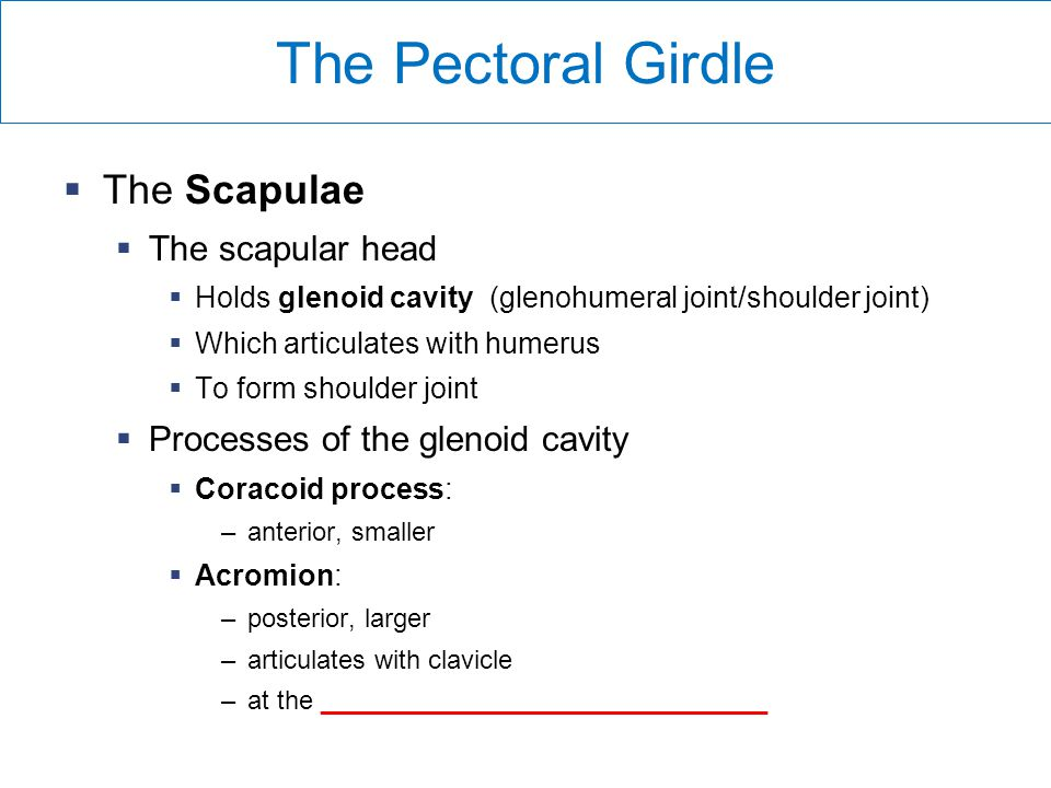 The Pectoral Girdle The Scapulae The scapular head