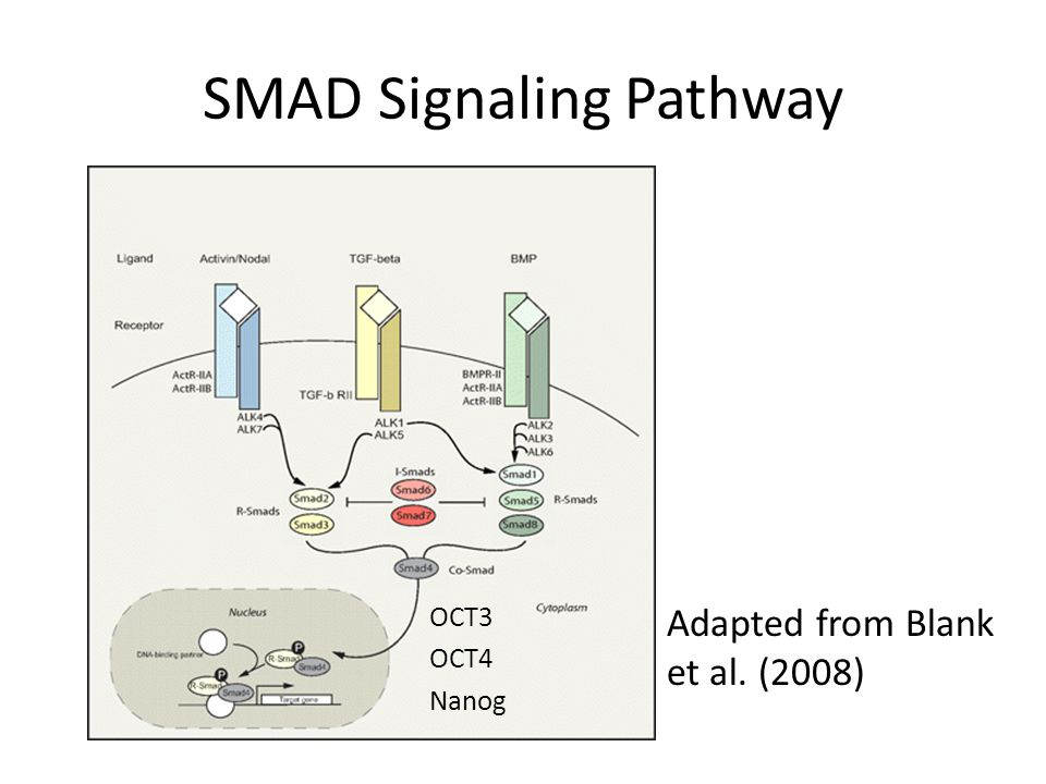 SMAD Signaling Pathway