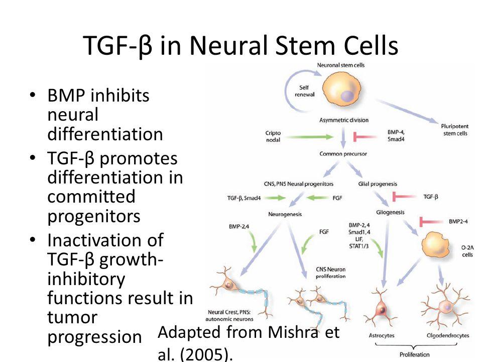 TGF-β in Neural Stem Cells