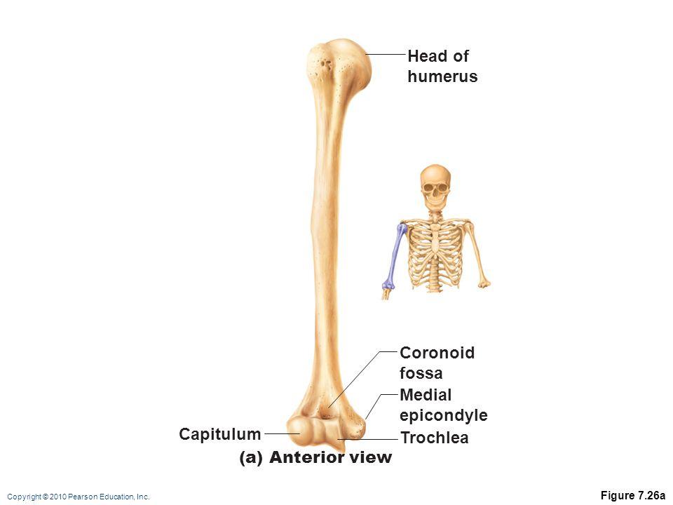 Head of humerus Coronoid fossa Medial epicondyle Capitulum Trochlea