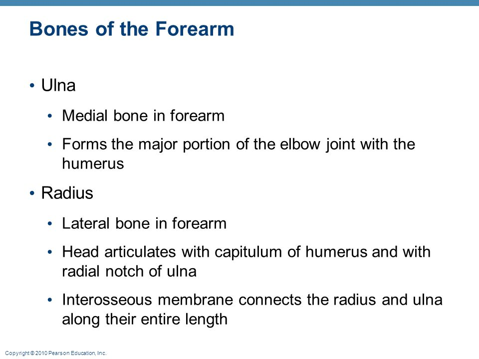 Bones of the Forearm Ulna Radius Medial bone in forearm