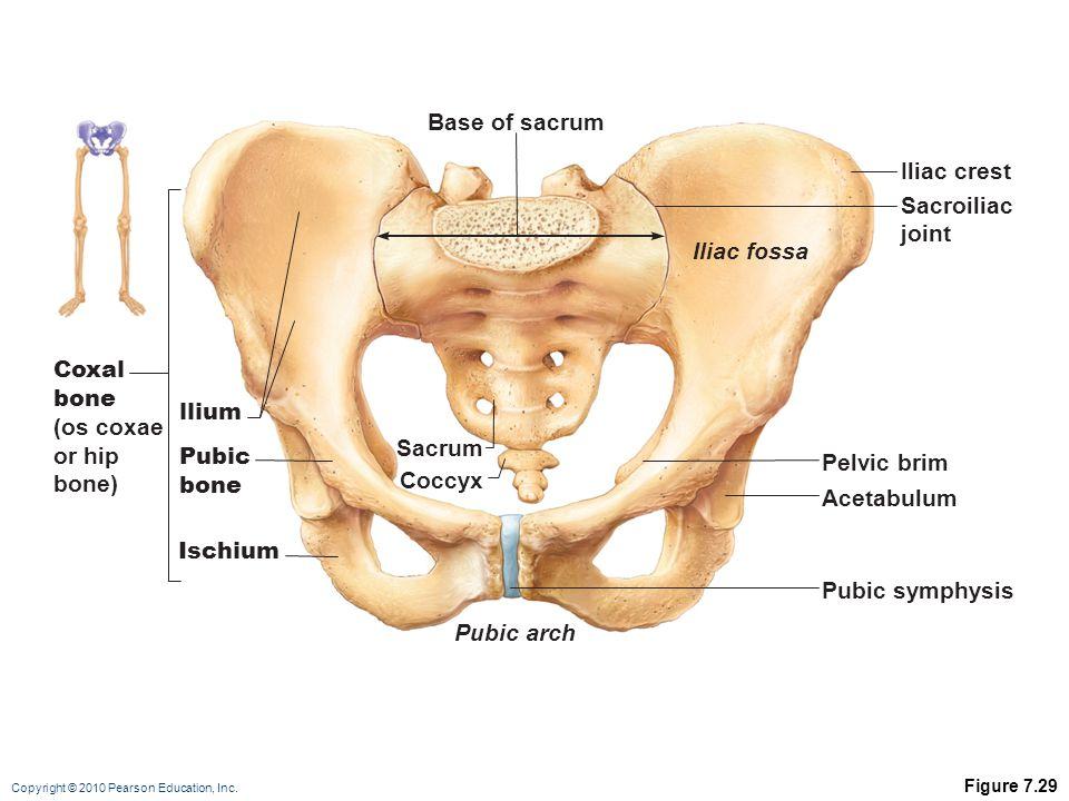 Base of sacrum Iliac crest Sacroiliac joint Iliac fossa Coxal bone