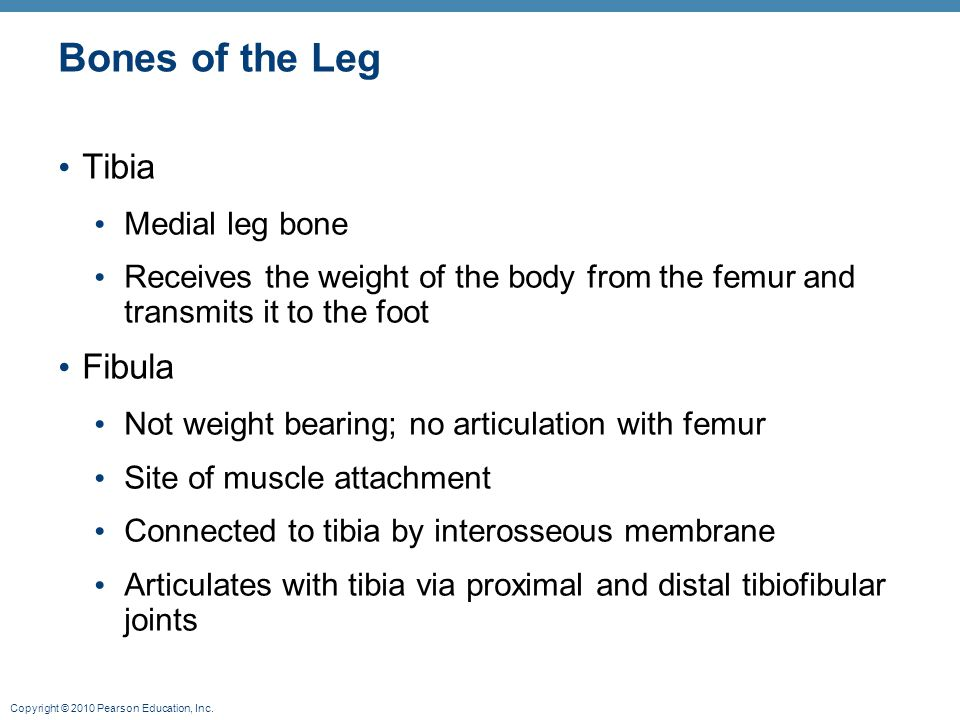 Bones of the Leg Tibia Fibula Medial leg bone