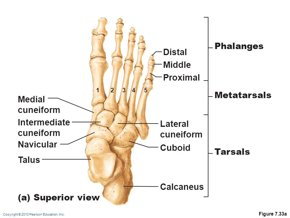 Phalanges Distal Middle Proximal Metatarsals Medial cuneiform
