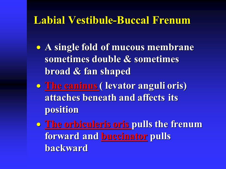 Labial Vestibule-Buccal Frenum