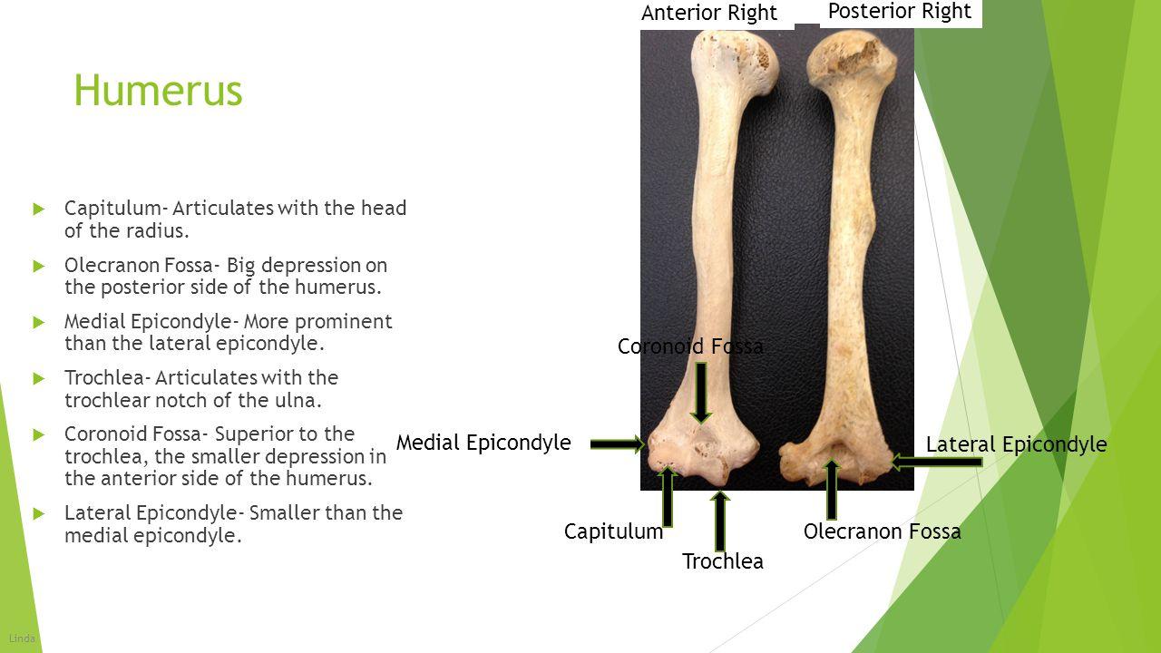 Humerus Anterior Right Posterior Right Coronoid Fossa