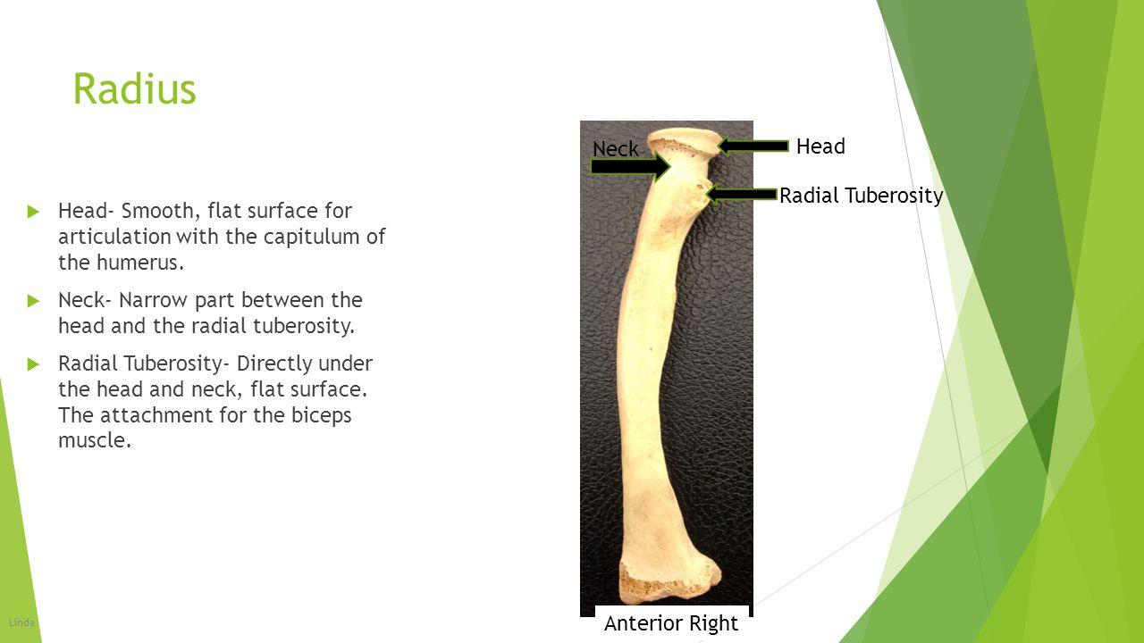 Radius Head Neck Radial Tuberosity