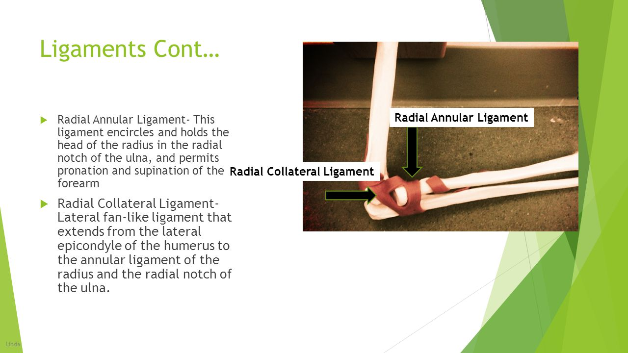 Ligaments Cont… Radial Annular Ligament.