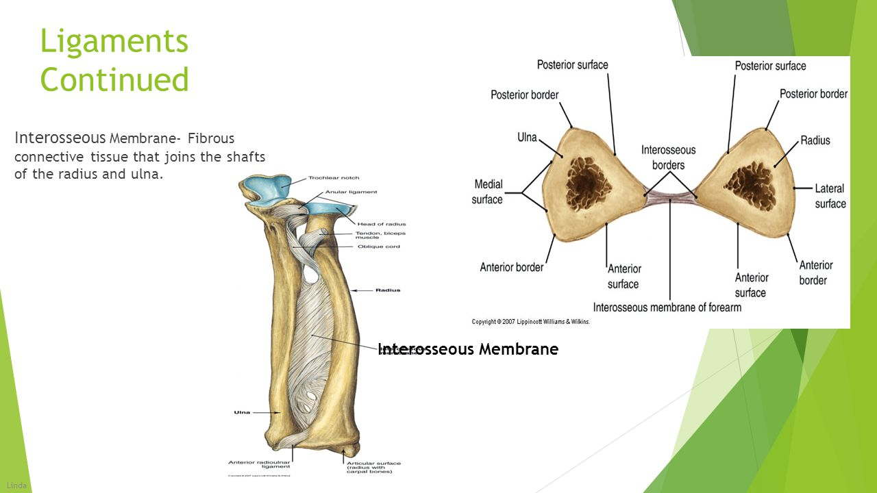 Ligaments Continued Interosseous Membrane- Fibrous connective tissue that joins the shafts of the radius and ulna.
