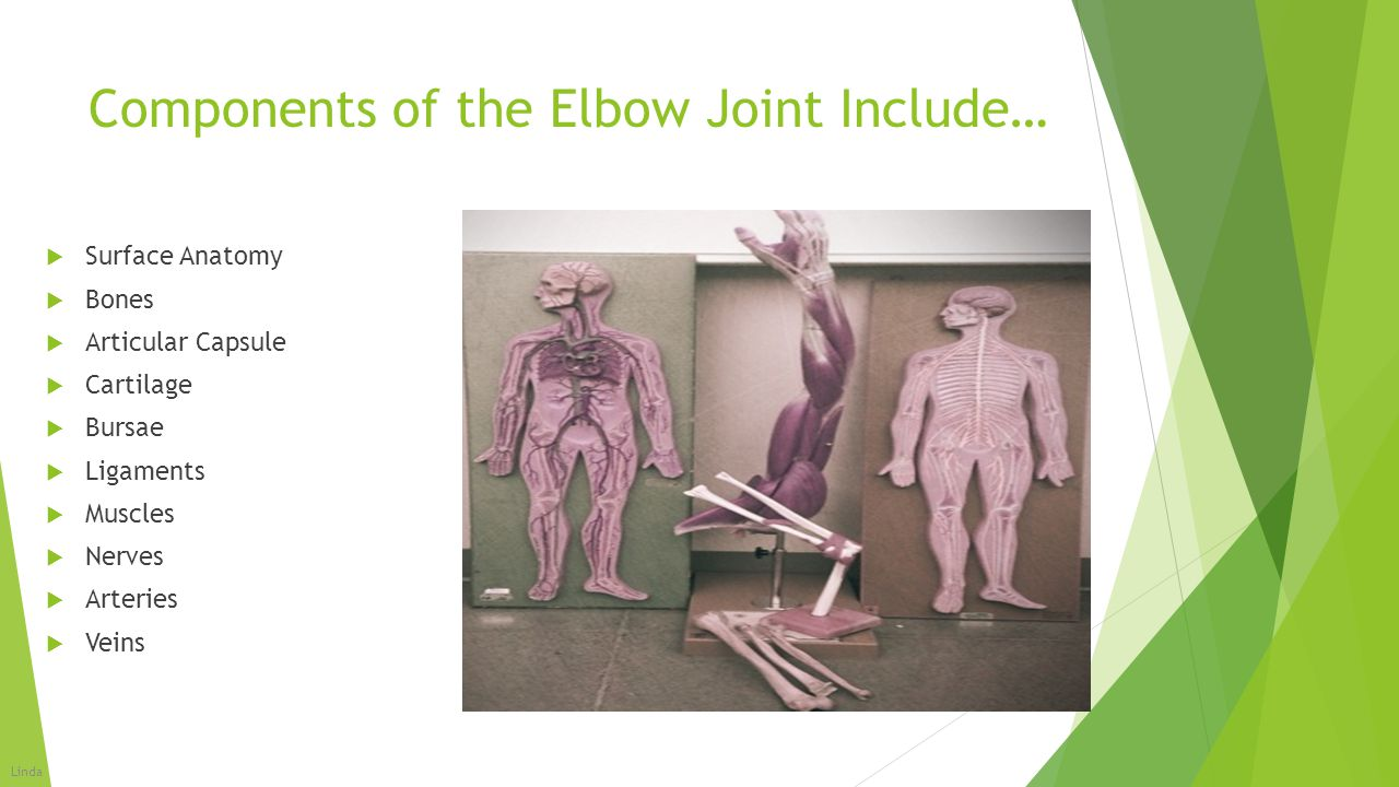 Components of the Elbow Joint Include…