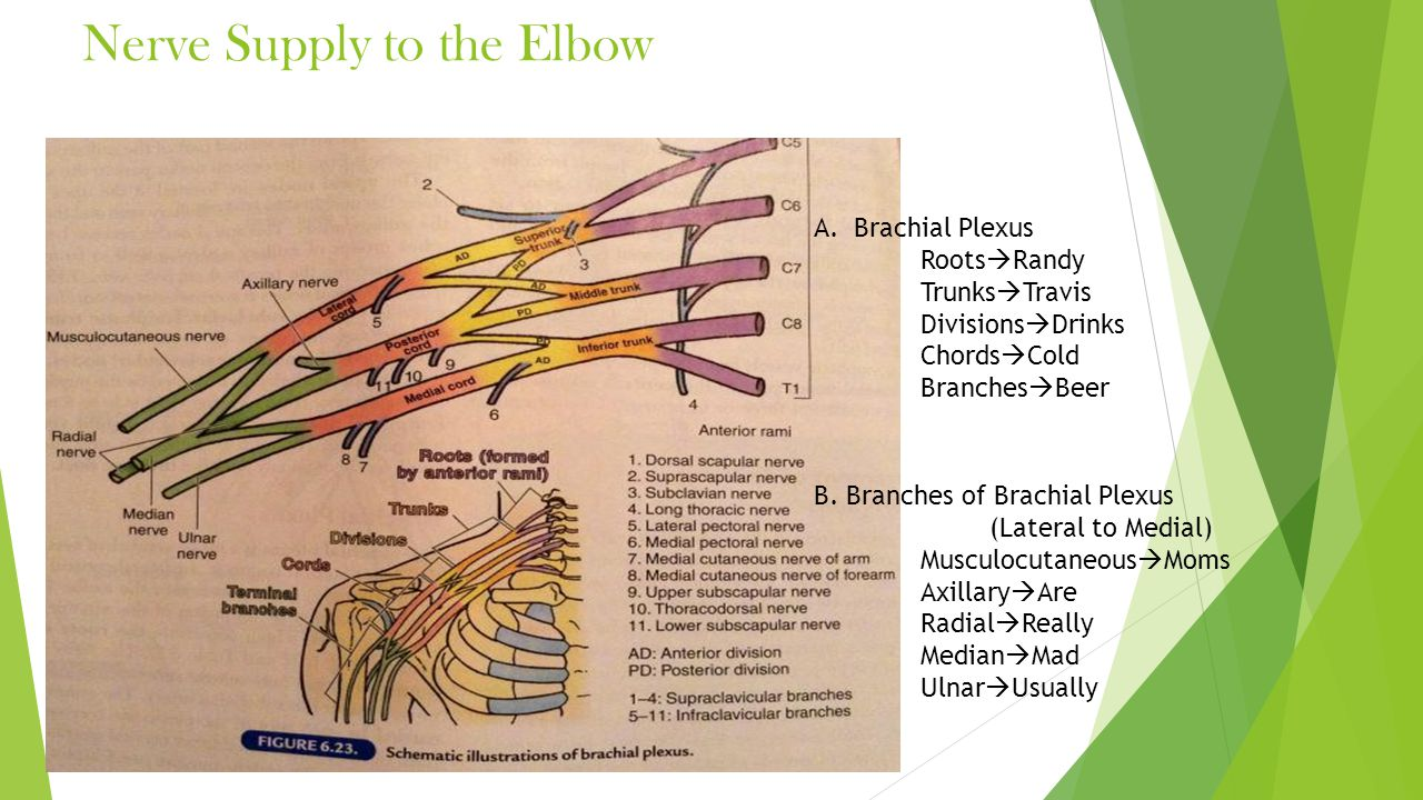 Nerve Supply to the Elbow