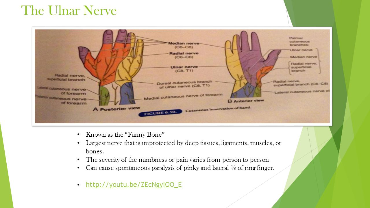 The Ulnar Nerve Known as the Funny Bone