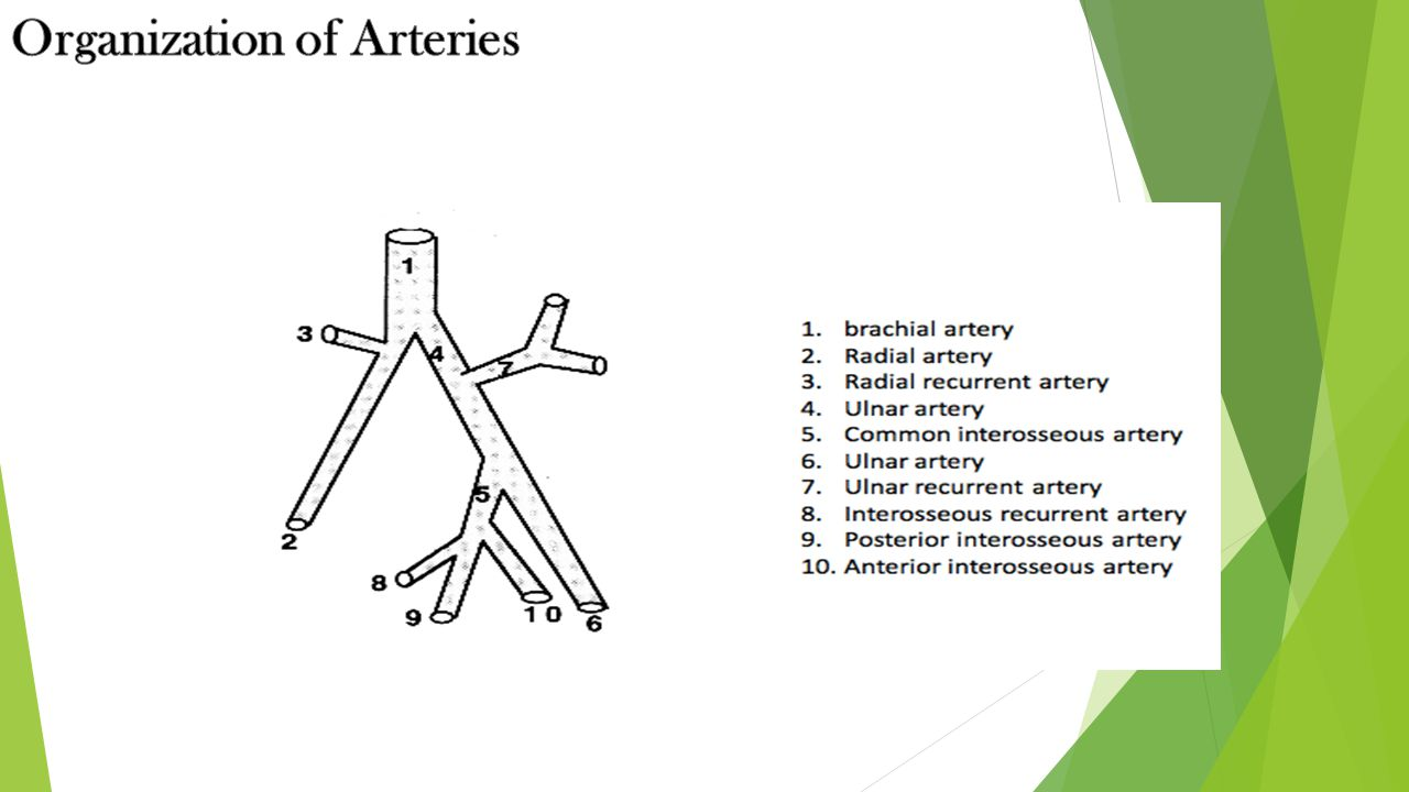 Organization of Arteries
