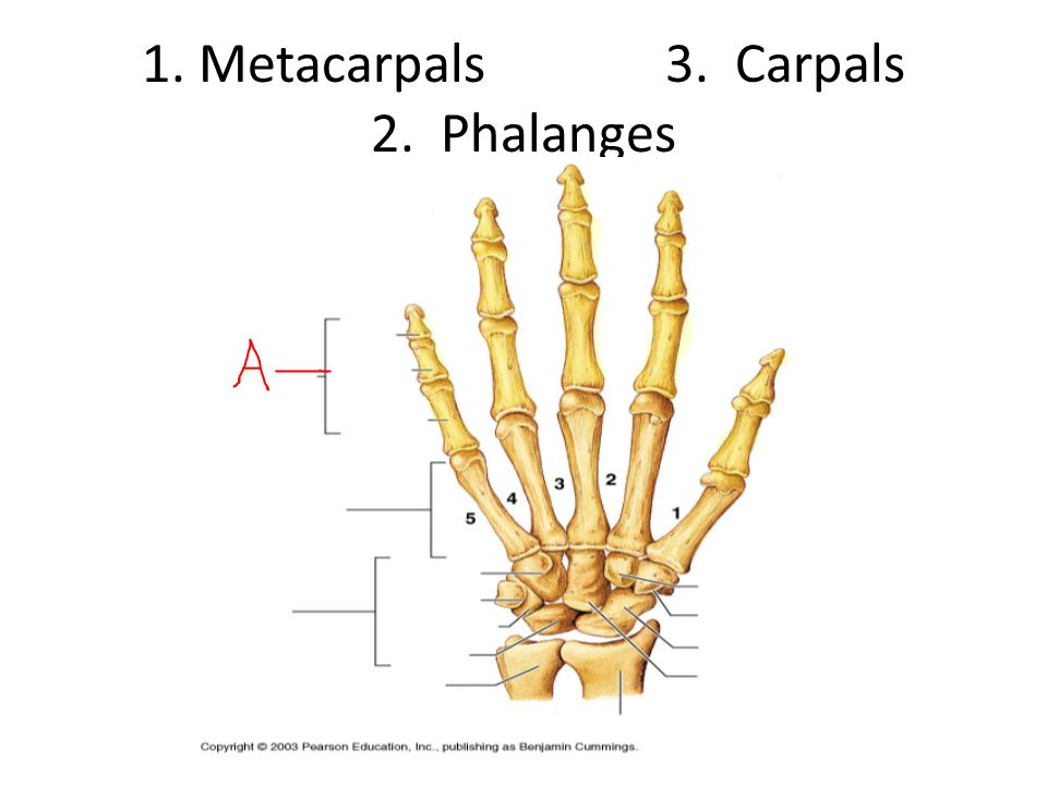 1. Metacarpals 3. Carpals 2. Phalanges