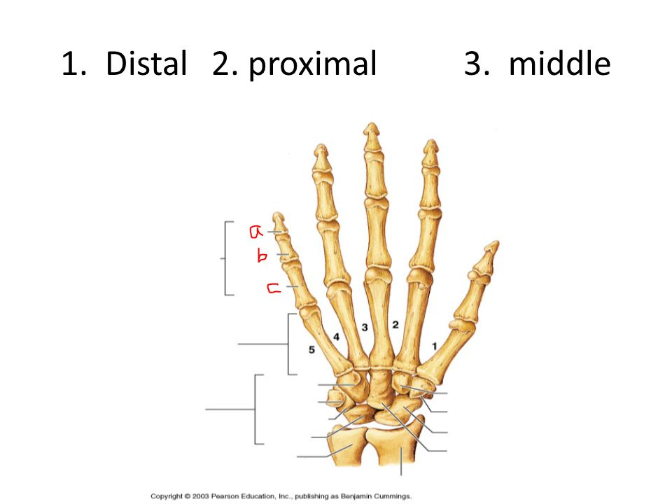 1. Distal 2. proximal 3. middle