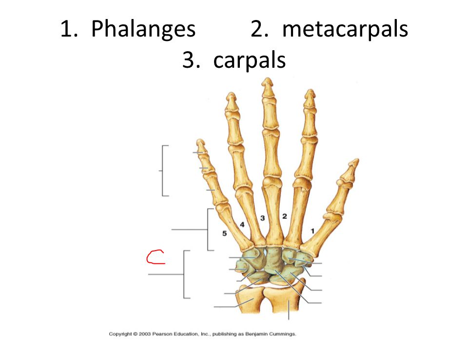 1. Phalanges 2. metacarpals 3. carpals