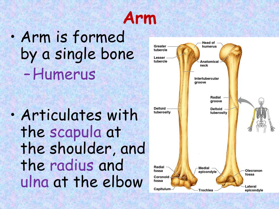 Arm Arm is formed by a single bone Humerus