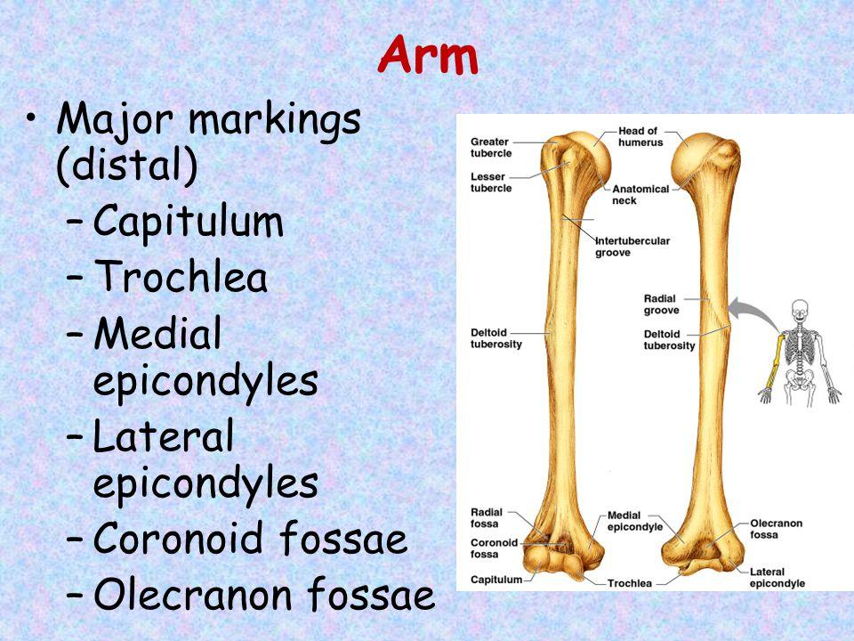 Arm Major markings (distal) Capitulum Trochlea Medial epicondyles