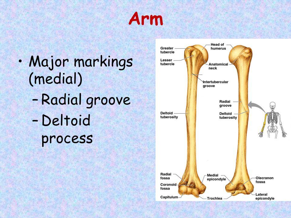 Arm Major markings (medial) Radial groove Deltoid process