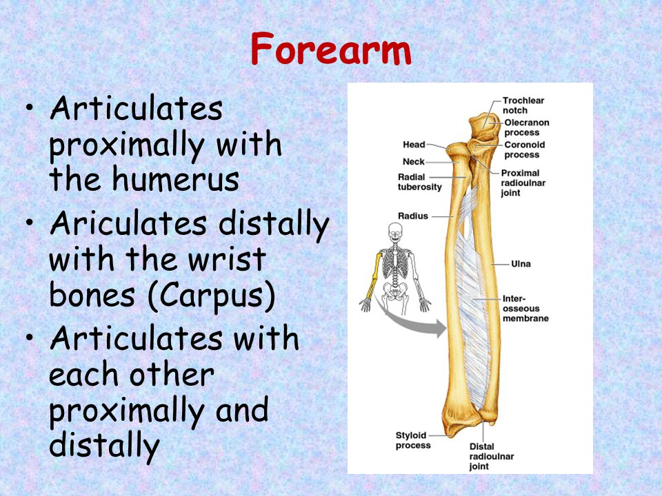 Forearm Articulates proximally with the humerus