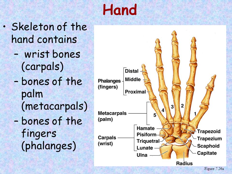 Hand Skeleton of the hand contains wrist bones (carpals)