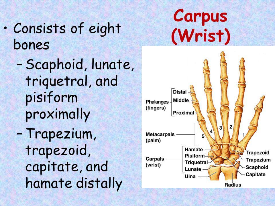 Carpus (Wrist) Consists of eight bones
