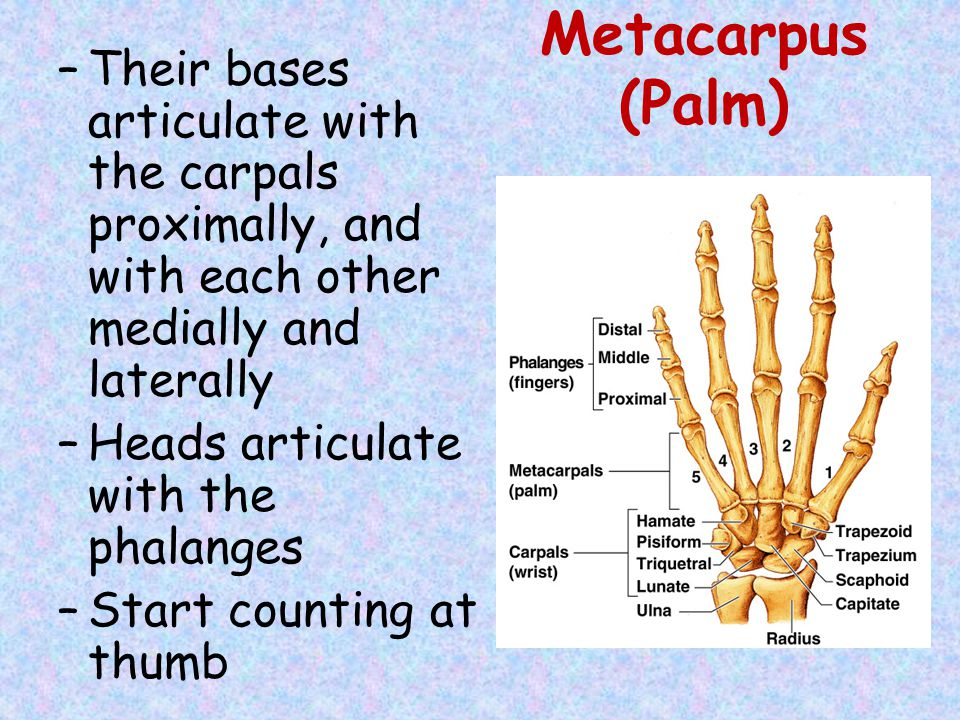 Metacarpus (Palm) Their bases articulate with the carpals proximally, and with each other medially and laterally.
