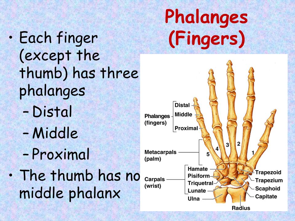Phalanges (Fingers) Each finger (except the thumb) has three phalanges